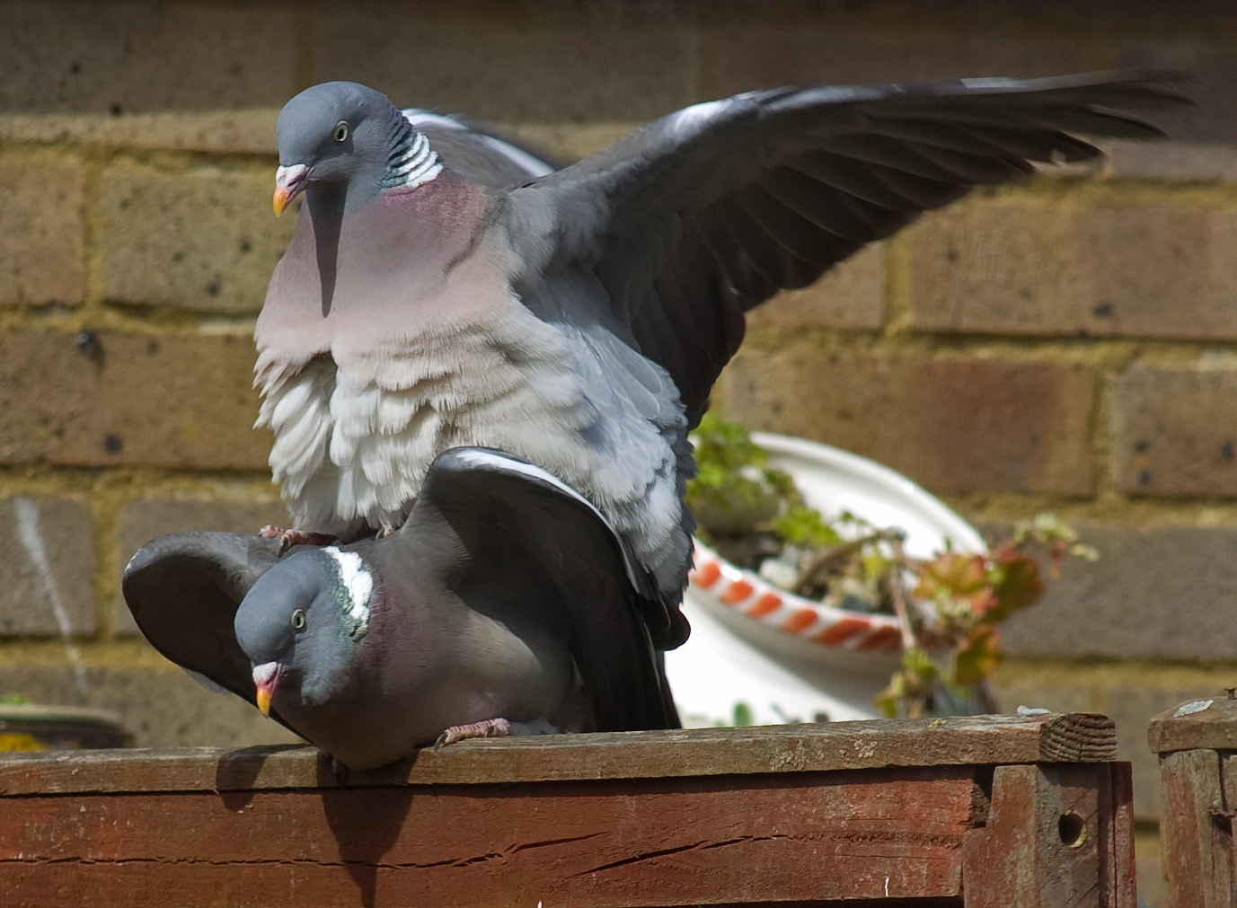 File Wood Pigeons Cock And Hen 1 Jpg Wikimedia Commons