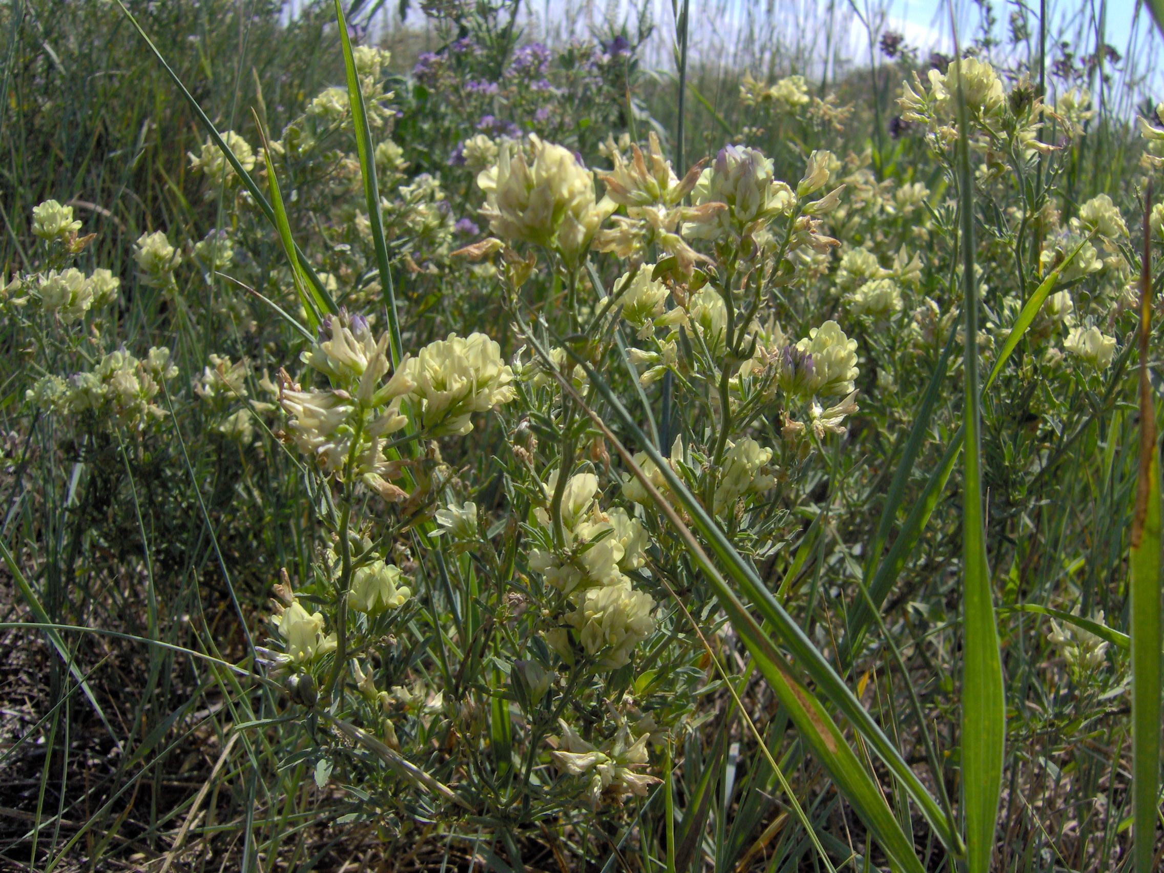 Fileyellow prairie flowerg wikimedia commons fileyellow prairie flowerg mightylinksfo