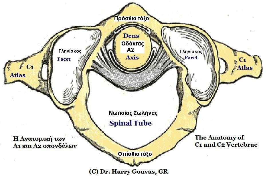 File:A1 and A2 cervical vertebrae anatomy.jpg - Wikimedia Commons