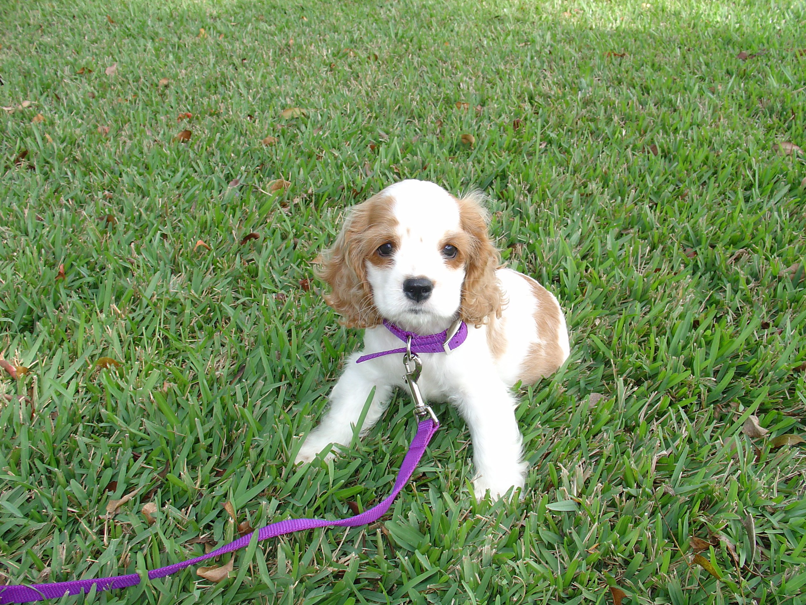 File:AMERICAN COCKER SPANIEL PUPPY 7 WEEKS.jpg - Wikipedia, the free ...