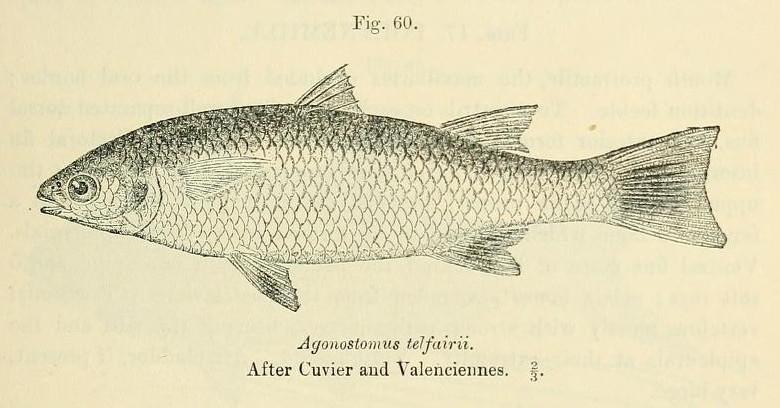 File:Agonostomus telfairii.jpg