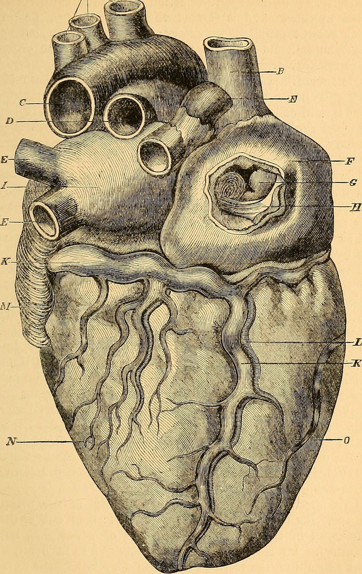 File:Anatomy of the arteries of the human body - descriptive and ...