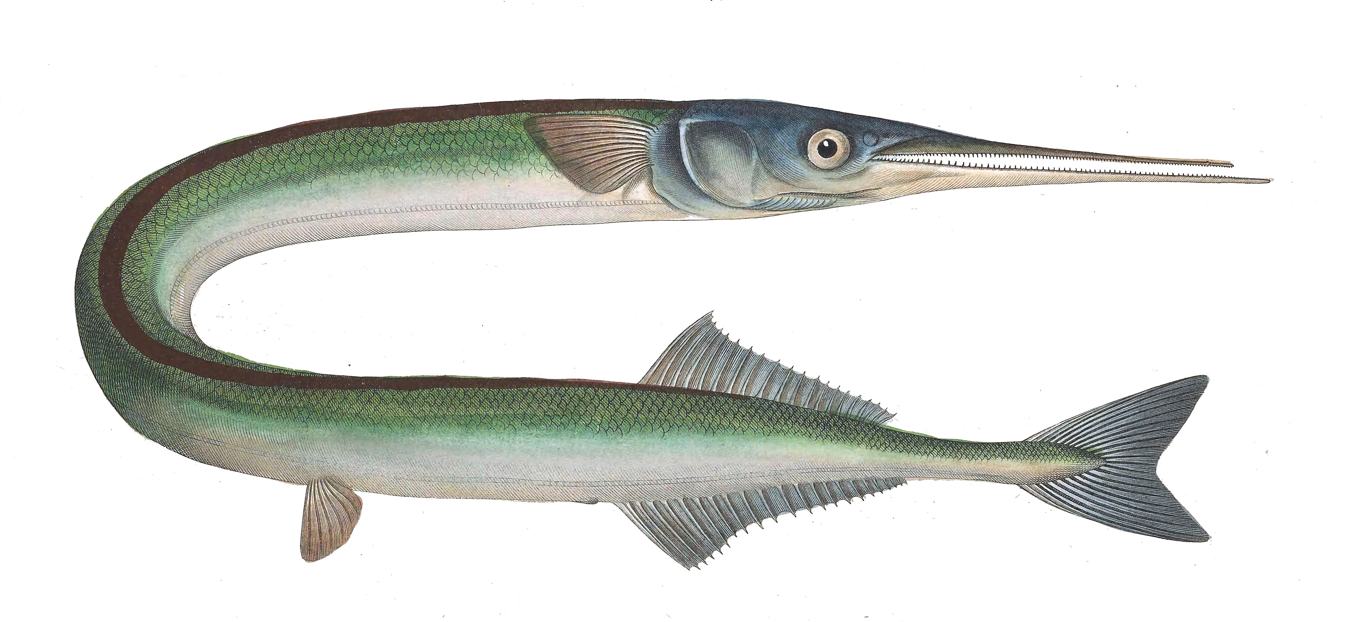 Orphie wikip dia - Grand poisson de mer ...