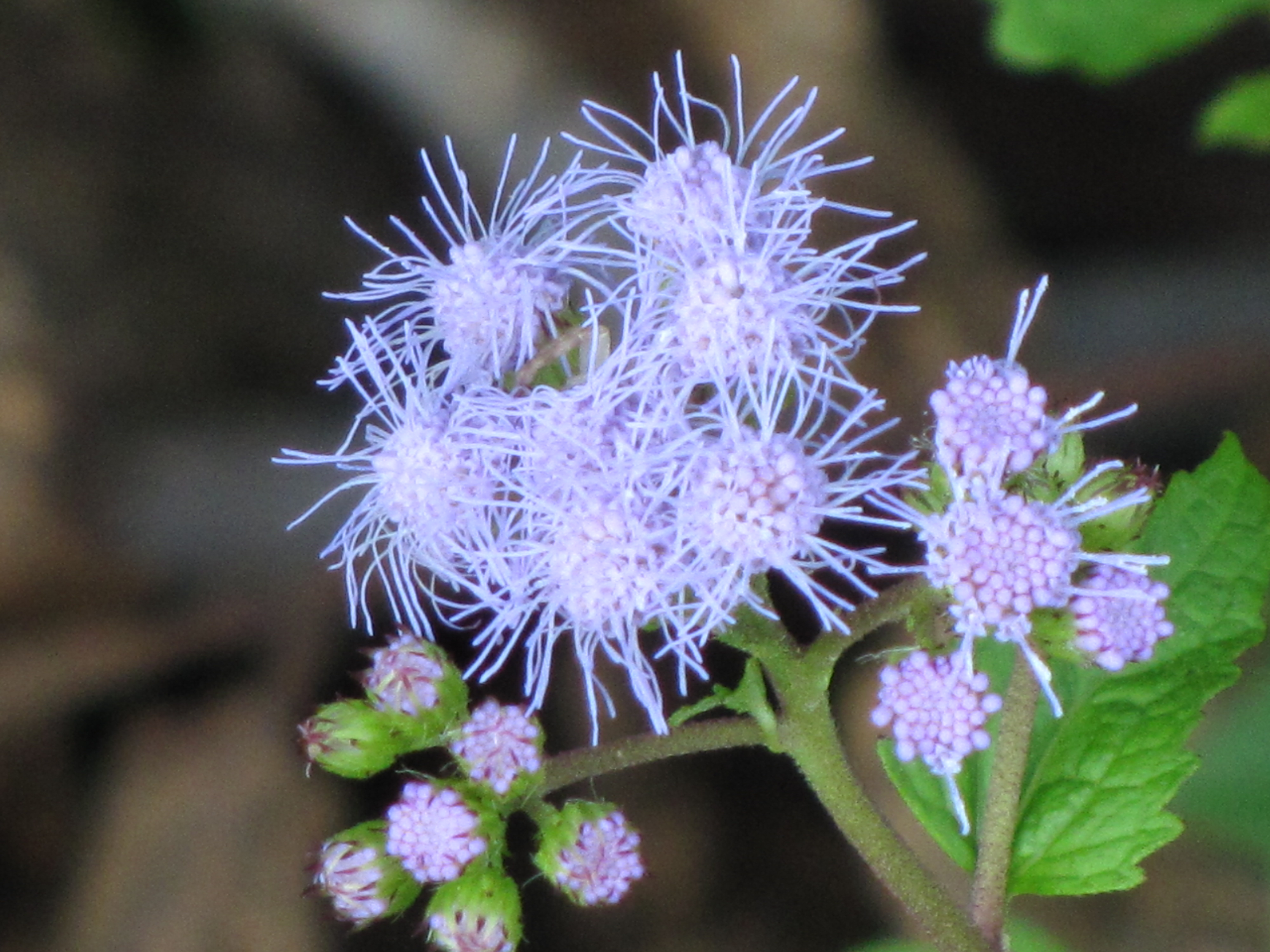 Fileblue mistflower conoclinium coelestinumg wikimedia commons fileblue mistflower conoclinium coelestinumg izmirmasajfo