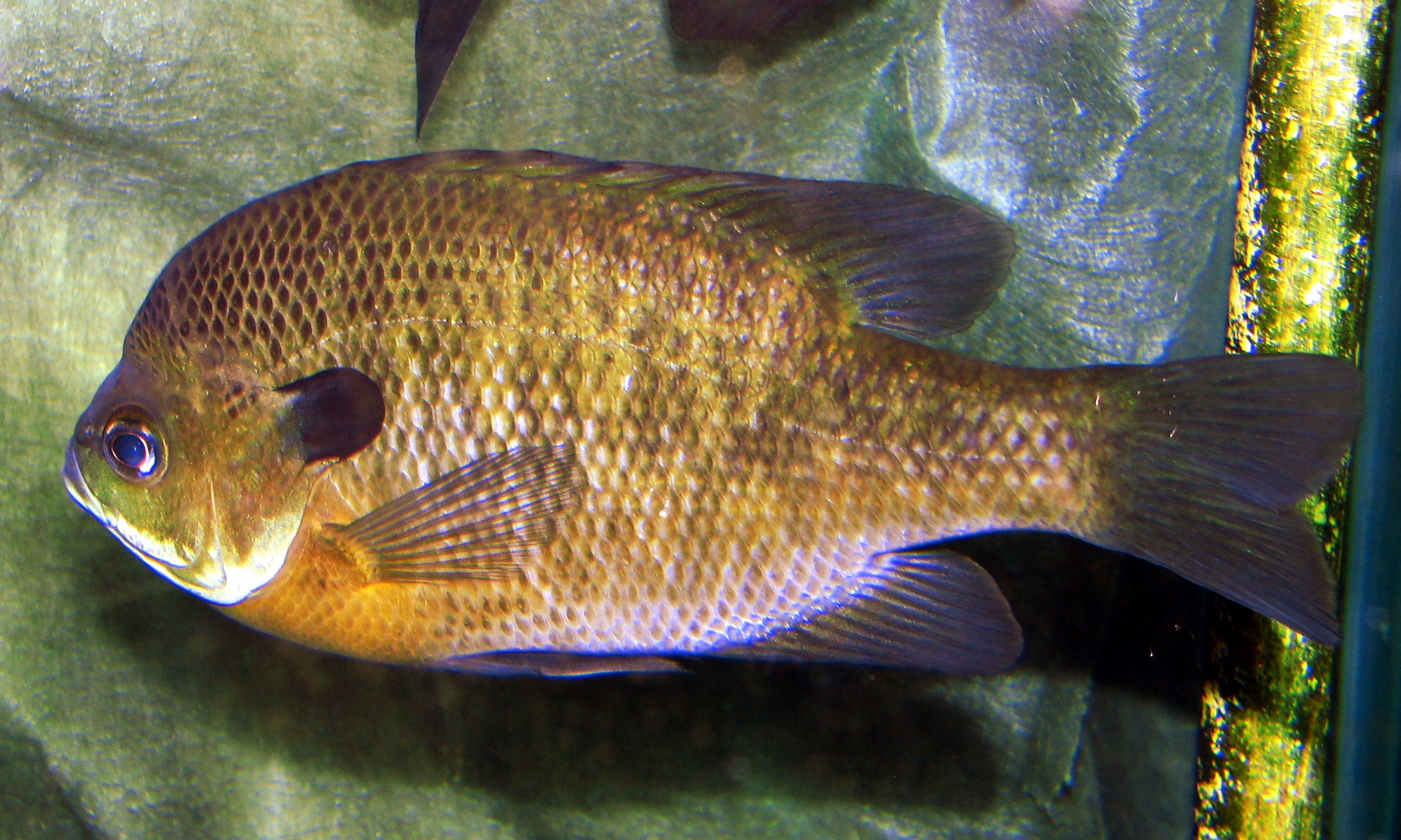 2 3 heterosis and synergistic effects for Fly fishing for bluegill