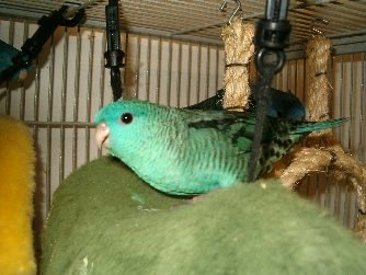 Ficheiro:Bolborhynchus lineola.jpg