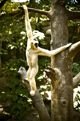 Brachiating Gibbon (Some rights reserved).jpg