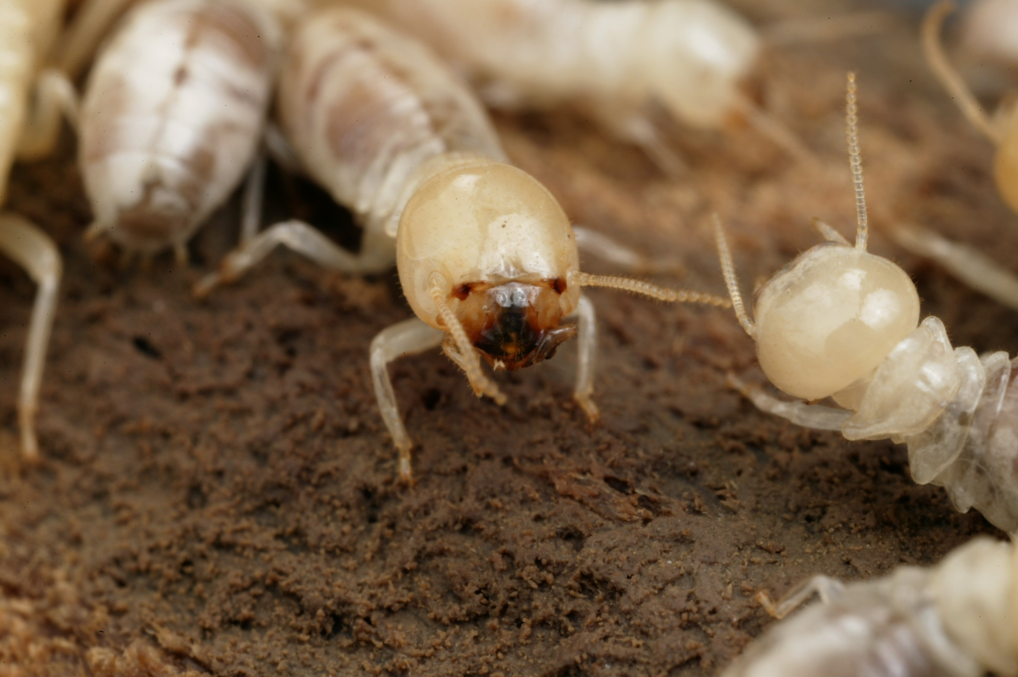 termites cause great damage to homes in Gold Coast, QLD