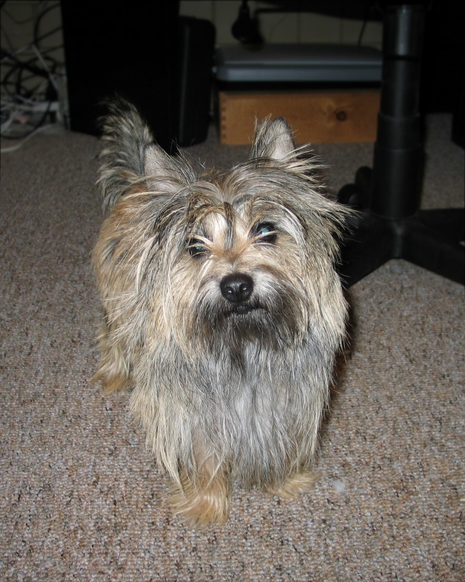 Cairn Terrier - Dog Scanner