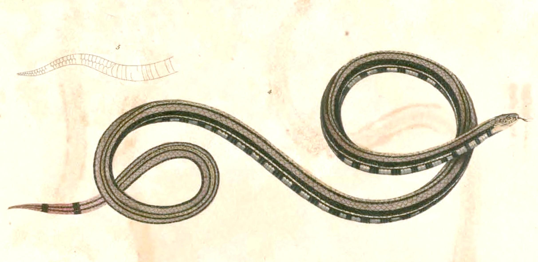 Calliophis Intestinalis Lineata File:calliophis Intestinalis