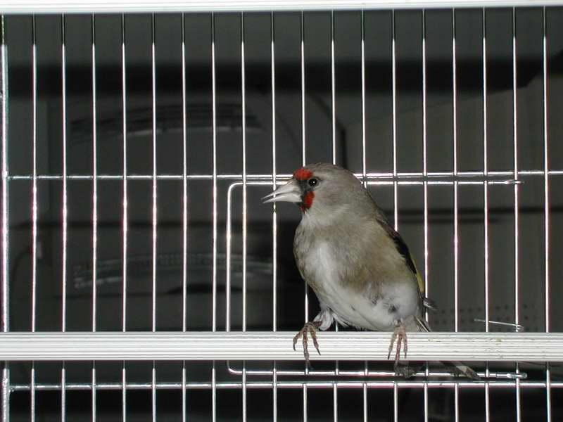 File:Carduelis caniceps F.JPG