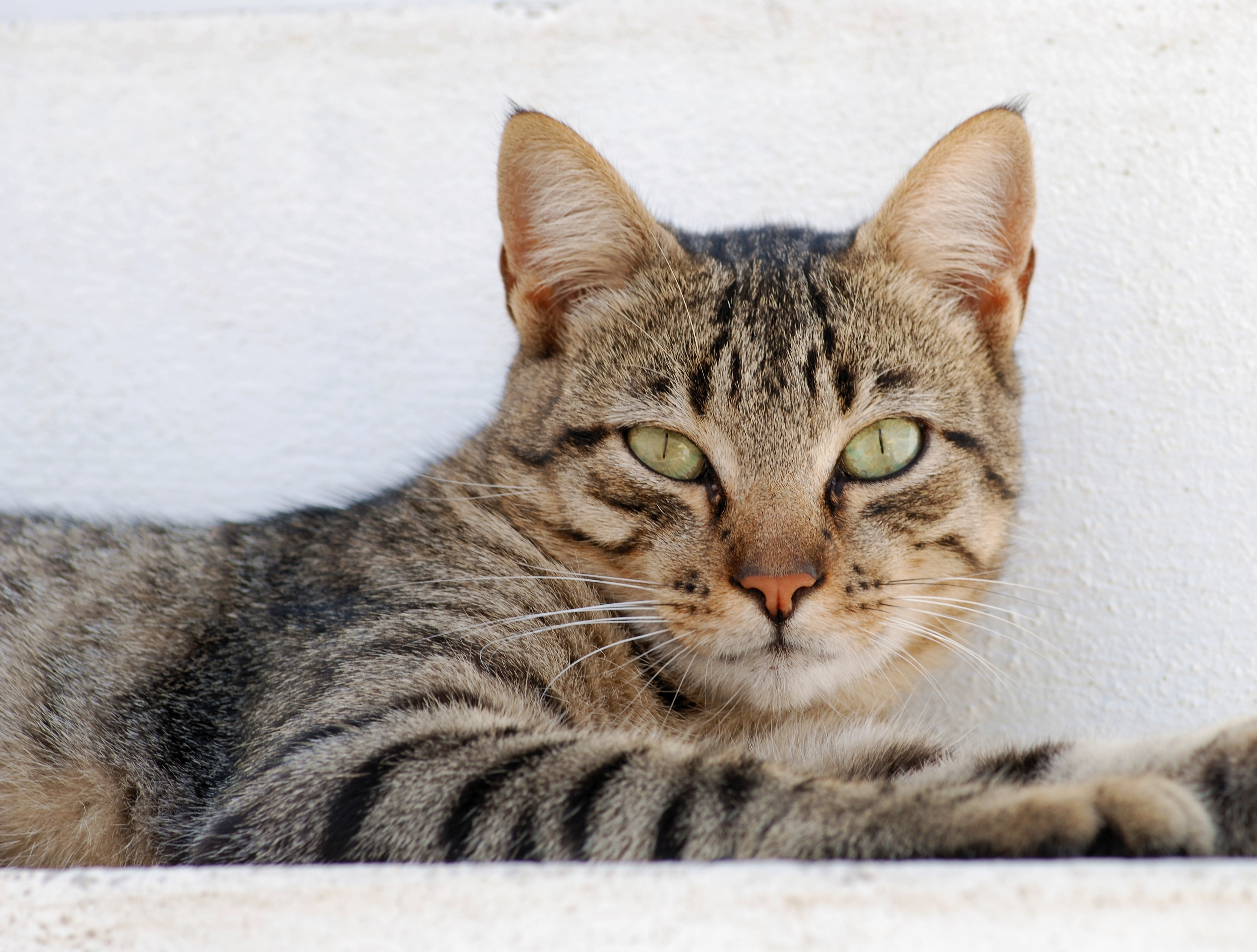 Image Result For Tabby Cat Colors