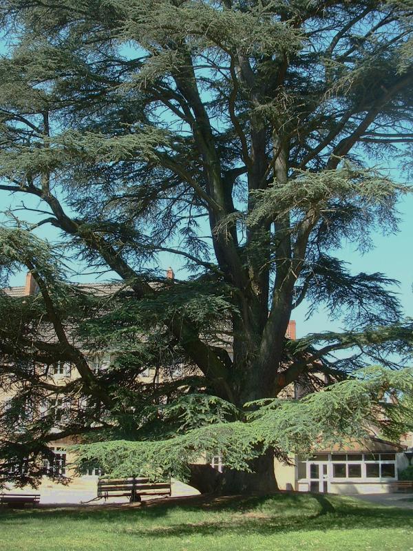 Maison De Jardin Originale : Cedrus Atlantica