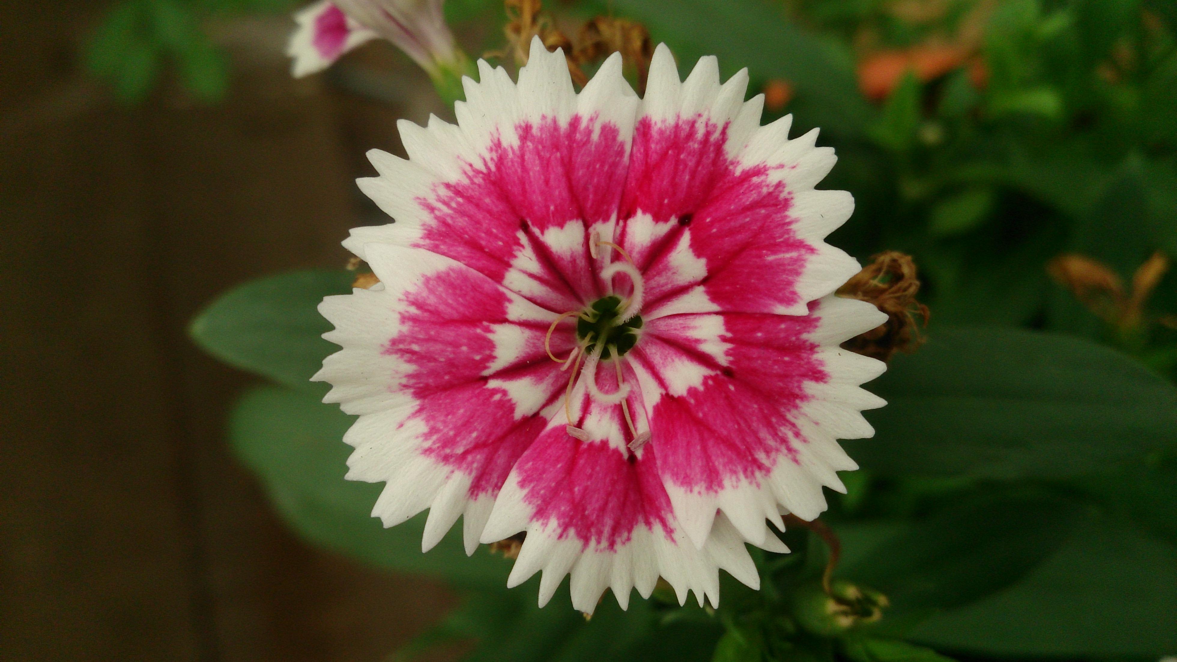 Filechina Pink Dianthus Chinensis 6g Wikimedia Commons