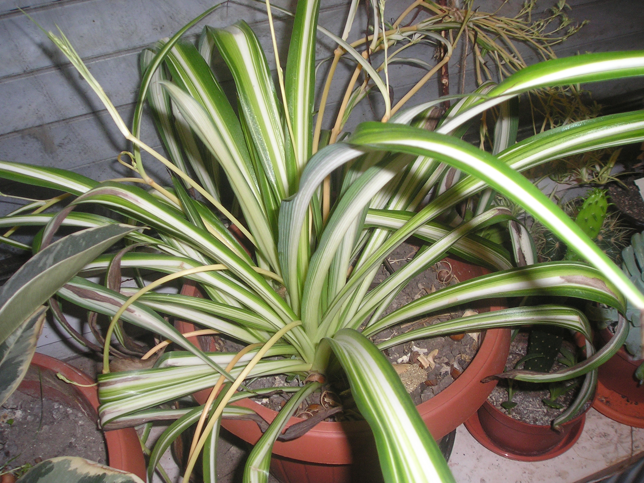 Aloe Verde File Chlorophytum Comosum Variegatum Jpg Wikimedia Commons