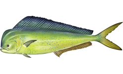 Mahi-mahi species of fish
