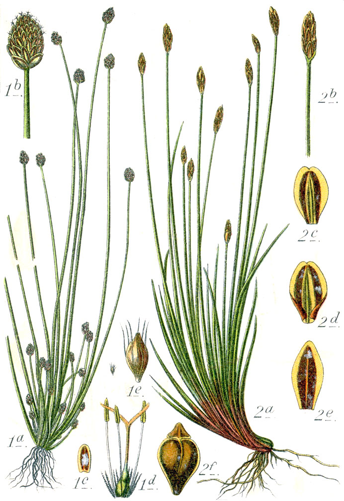 File:Cyperaceae spp Sturm5.jpg - Wikimedia Commons