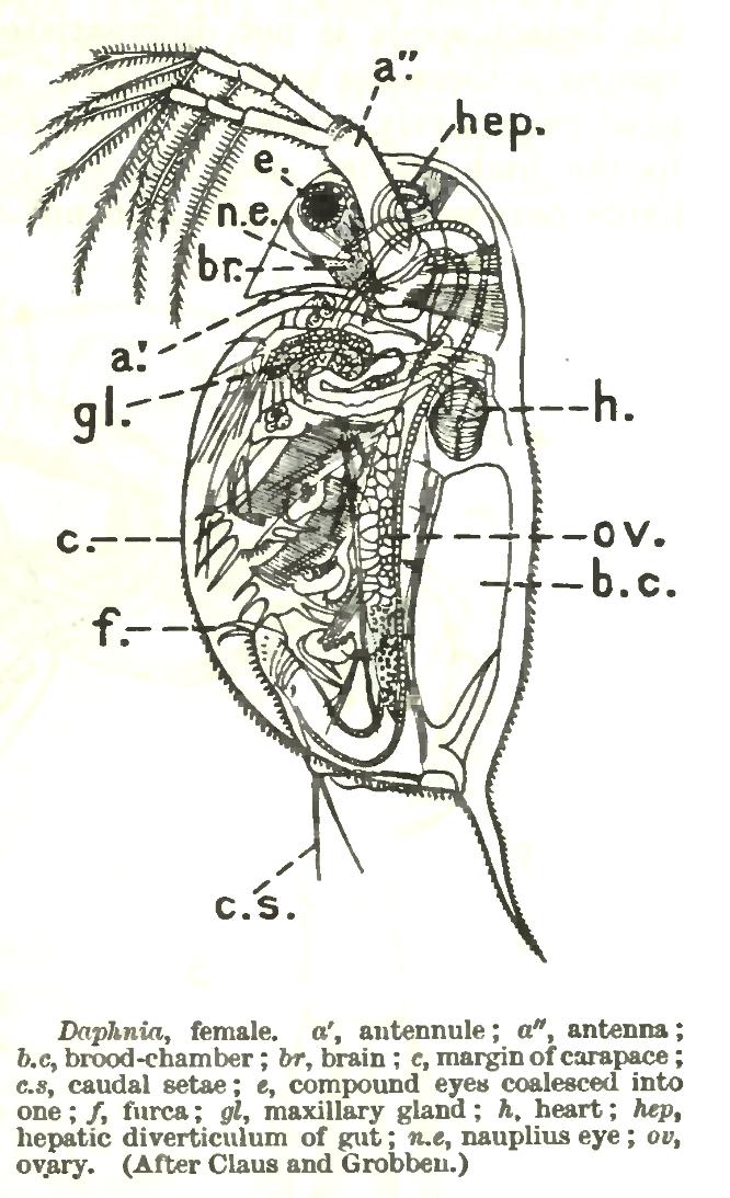 Anatomía de la daphnia