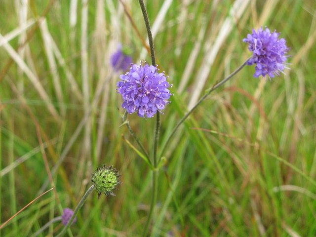 File:Devil's Bit Scabious - geograph.org.uk - 1497894.jpg