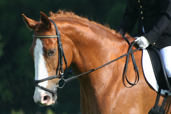 File:DressageHorse FlashNoseband.jpg - Wikimedia Commons