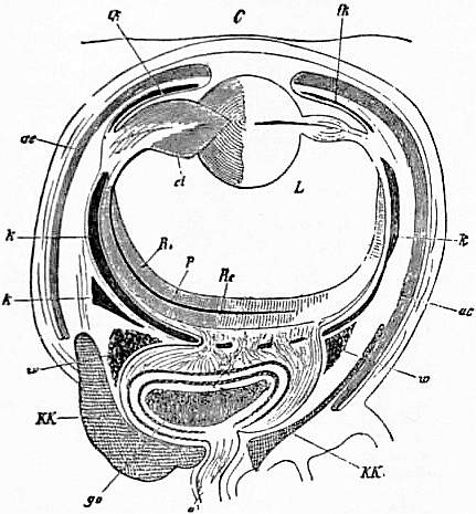 EB1911 Cephalopoda Fig. 33.—Horizontal section of the eye of Sepia (Myopsid).jpg