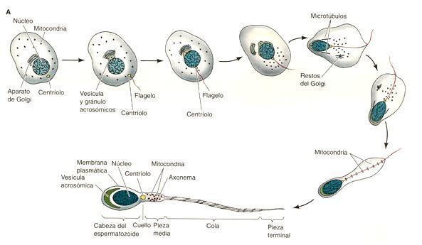 Дозрівання сперматозоїдів