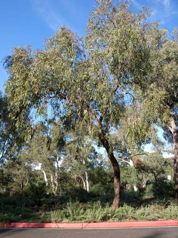 Eucalyptus Dives Wikipedia