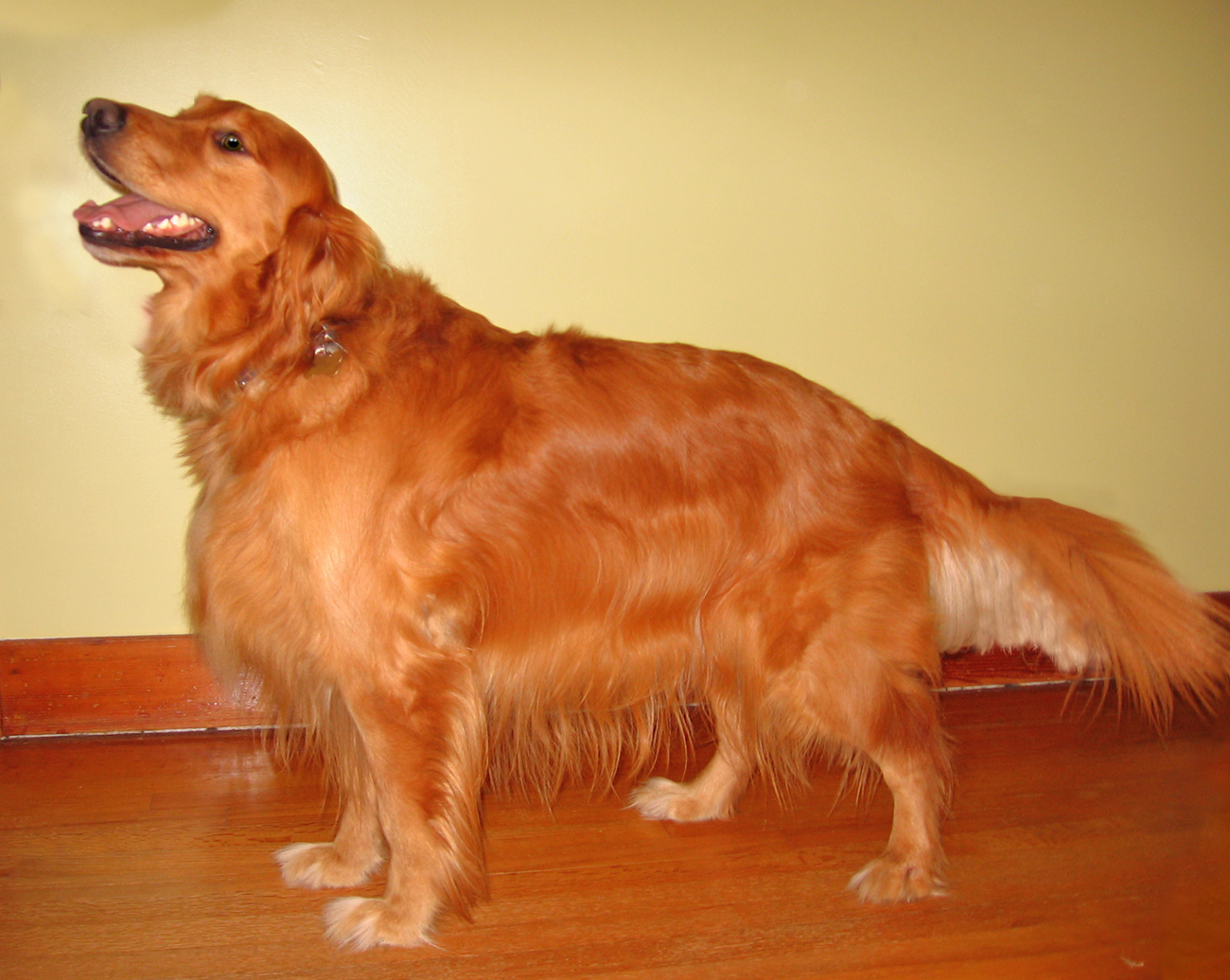 red golden retriever pictures