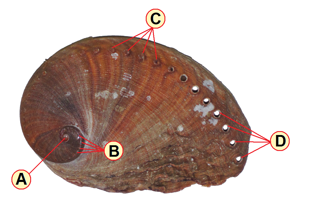 File:Haliotis spadicea (blood-spotted abalone) (South Africa