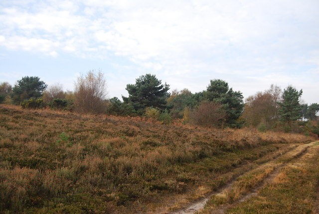 Heather heathland by the side of the track, Ashdown Forest - geograph.org.uk - 1584283