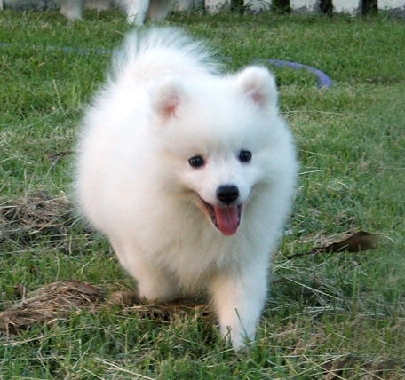 Japanese Spitz Dog For Sale