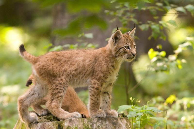http://upload.wikimedia.org/wikipedia/commons/d/d2/Lynx_lynx_cub_20050709.jpg
