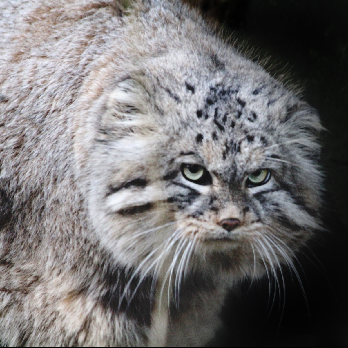 Wild Cat Breeds Native To Tropical Islands