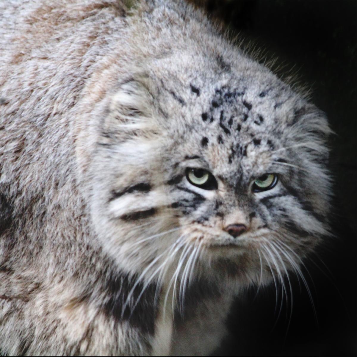 Wild Cat Breeds In Kentucky