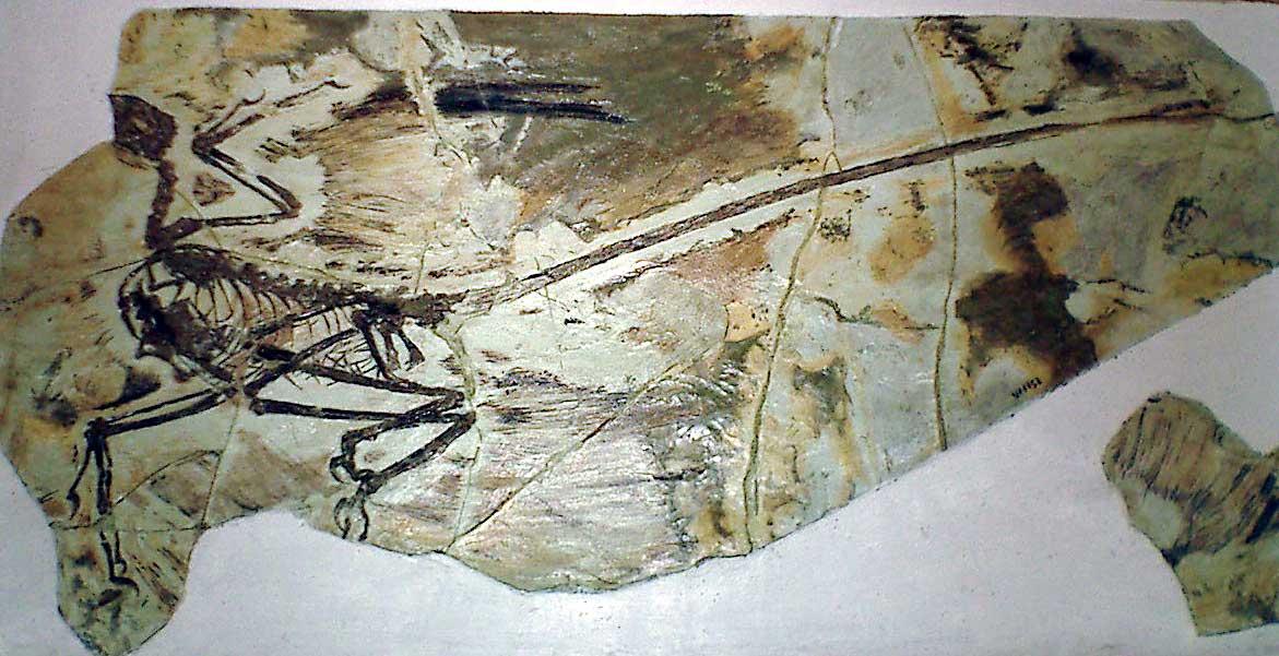microraptor � wikipedia