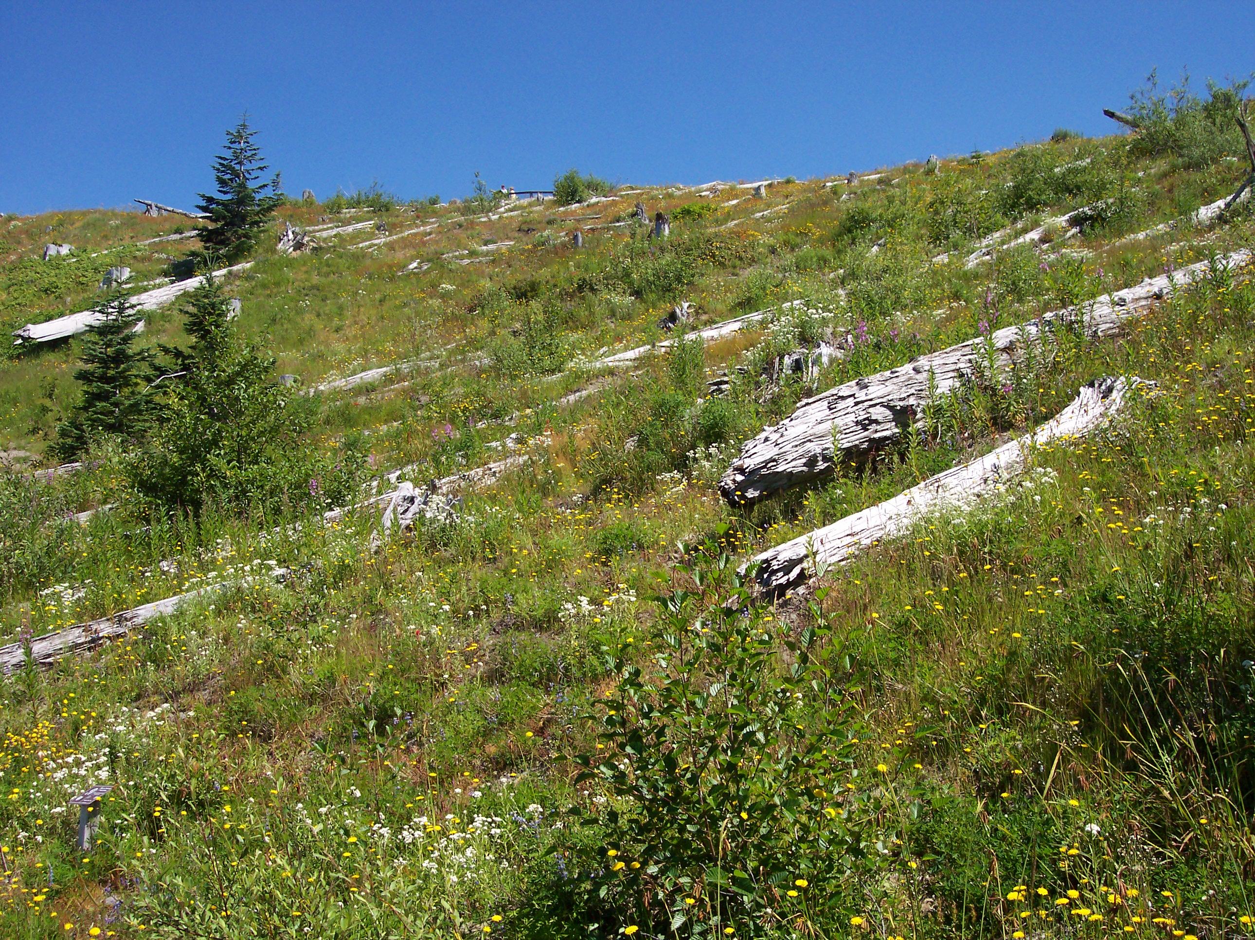 Mt_st_helens_Johnston_ridge_25_years_later.jpg