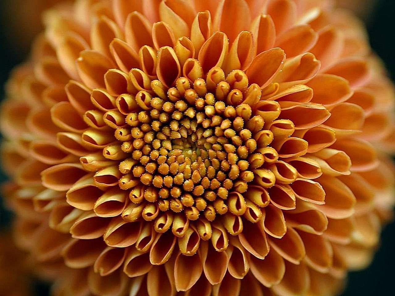 File Mums flower big yellow