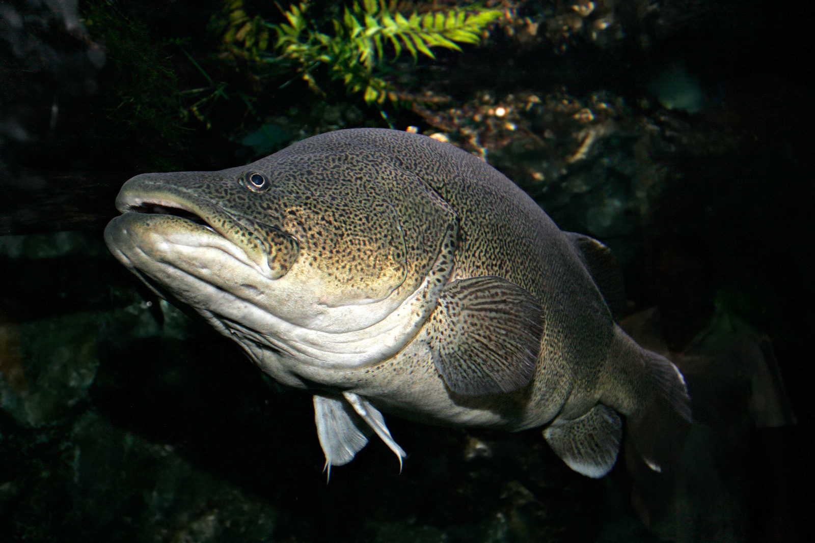 File murray cod02 melb wikipedia for What is cod fish
