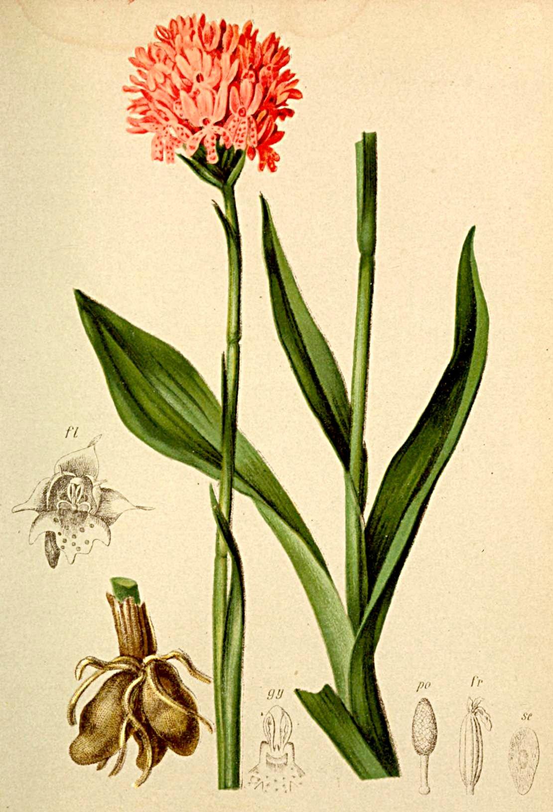 Orchis Globosa Atlas Alpenflora