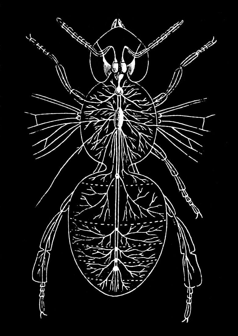 PSM V39 D247 Nervous system of the adult bee.jpg