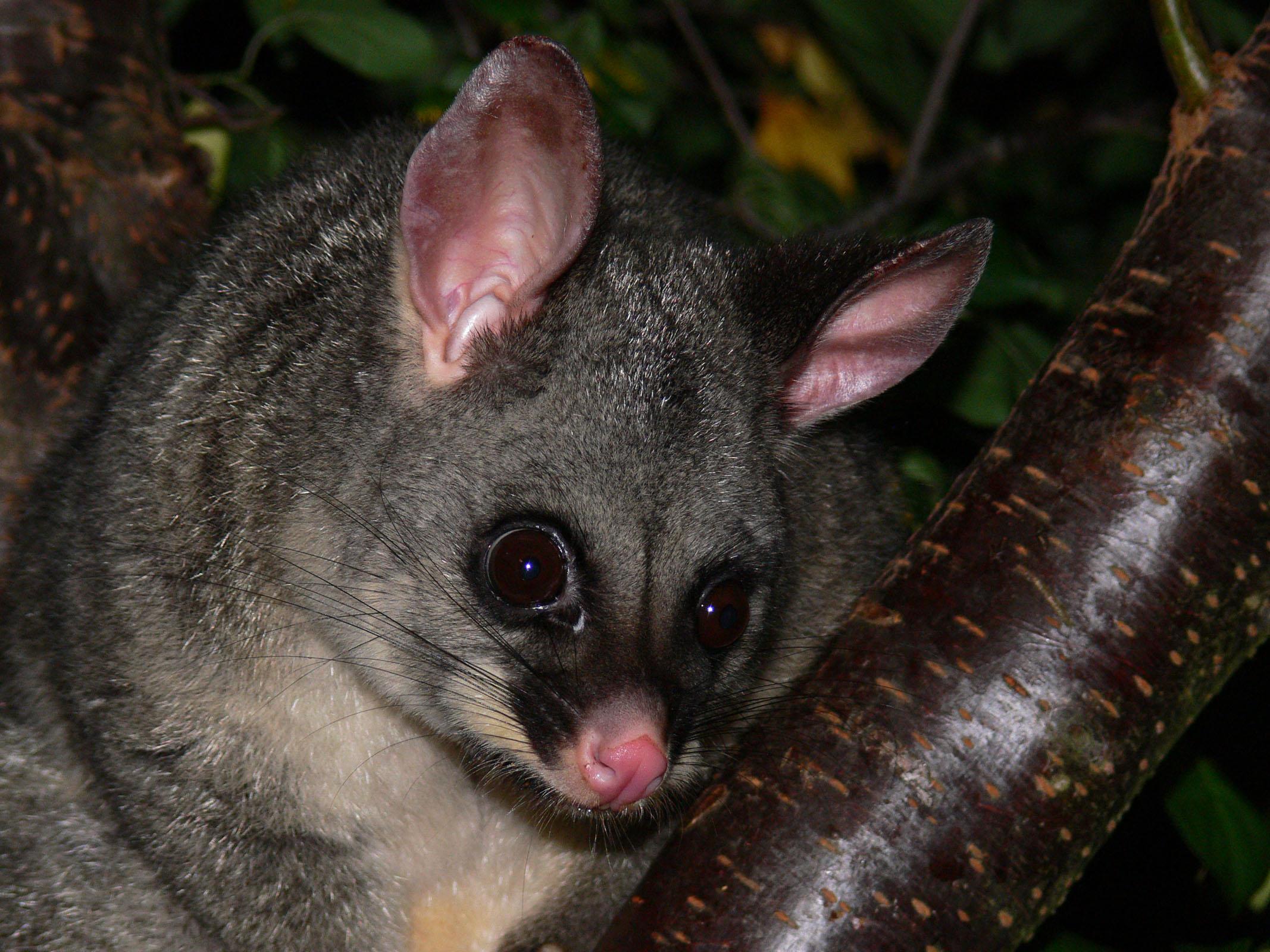 how to cook australian possum