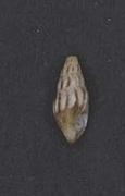 <i>Psittacodrillia bairstowi</i> Species of gastropod