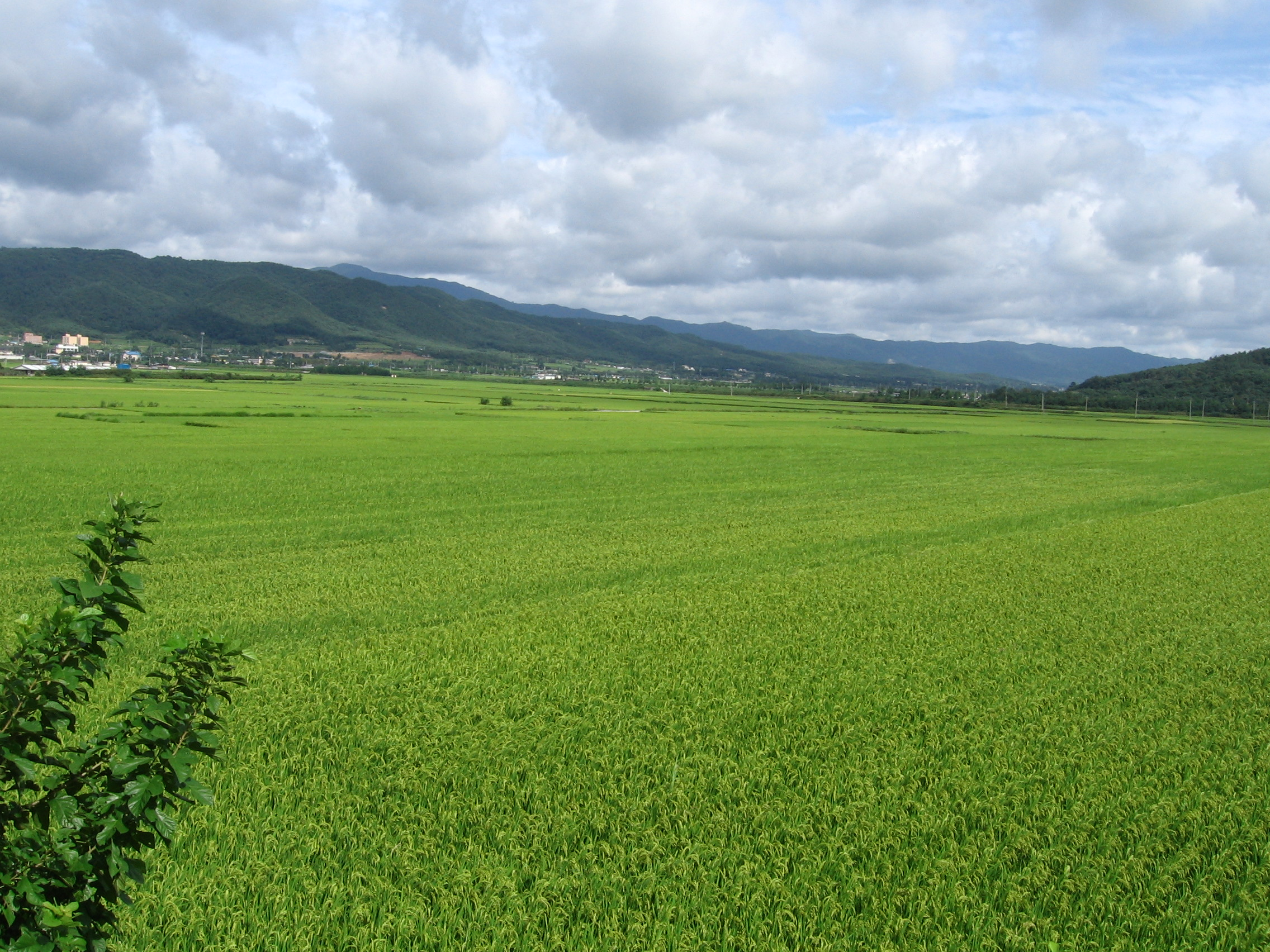 rice fields - photo #30