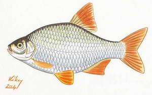 File scardinius erythrophthalmus v r ssz rny for Gartenteichfische arten