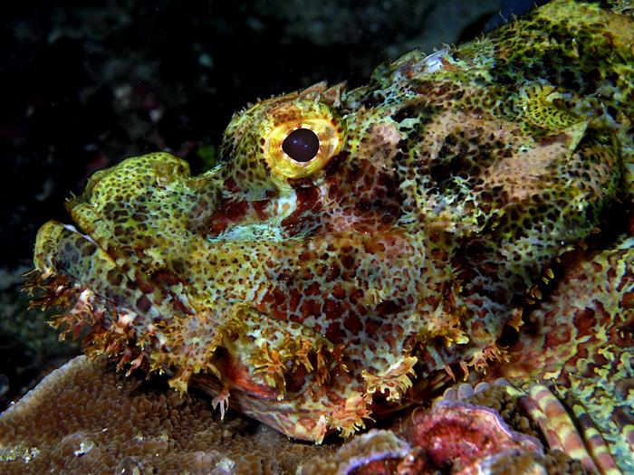 Scorpionfish_Nick_Hobgood.jpg