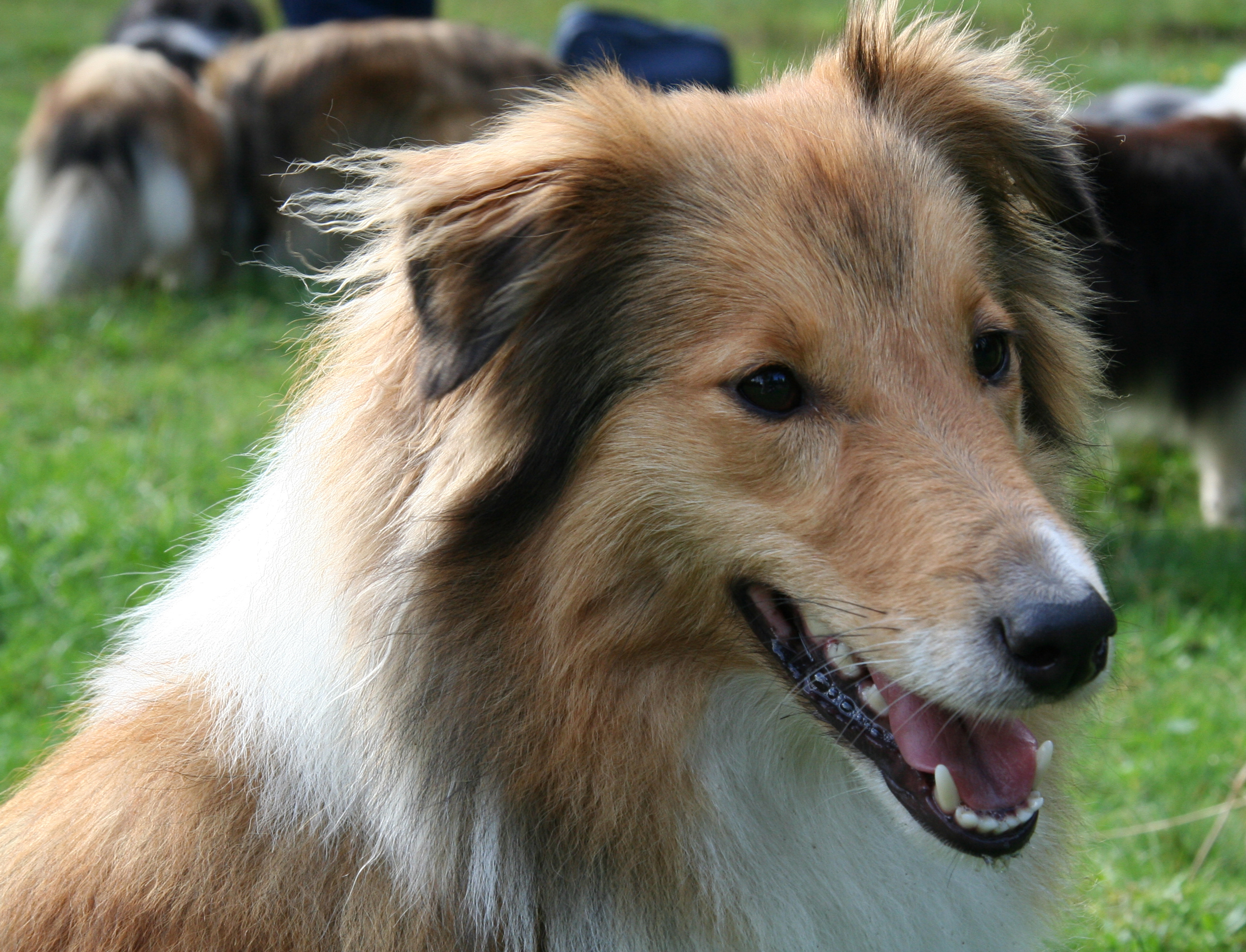 Description Shanti shetland sheepdog.jpg