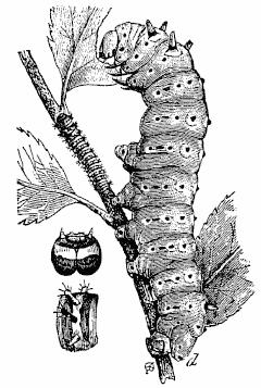 Prometheus silkworm