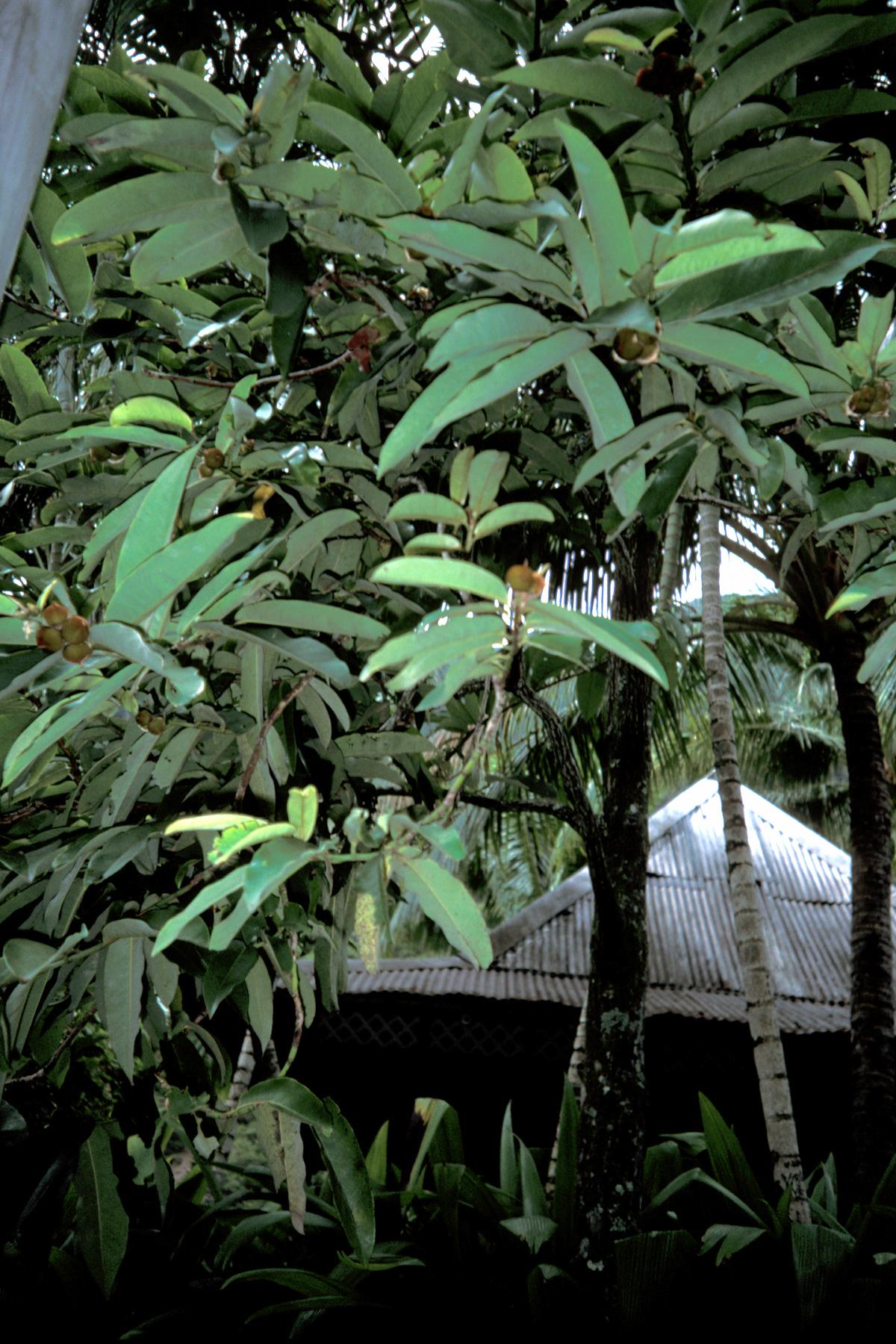 molave tree characteristics