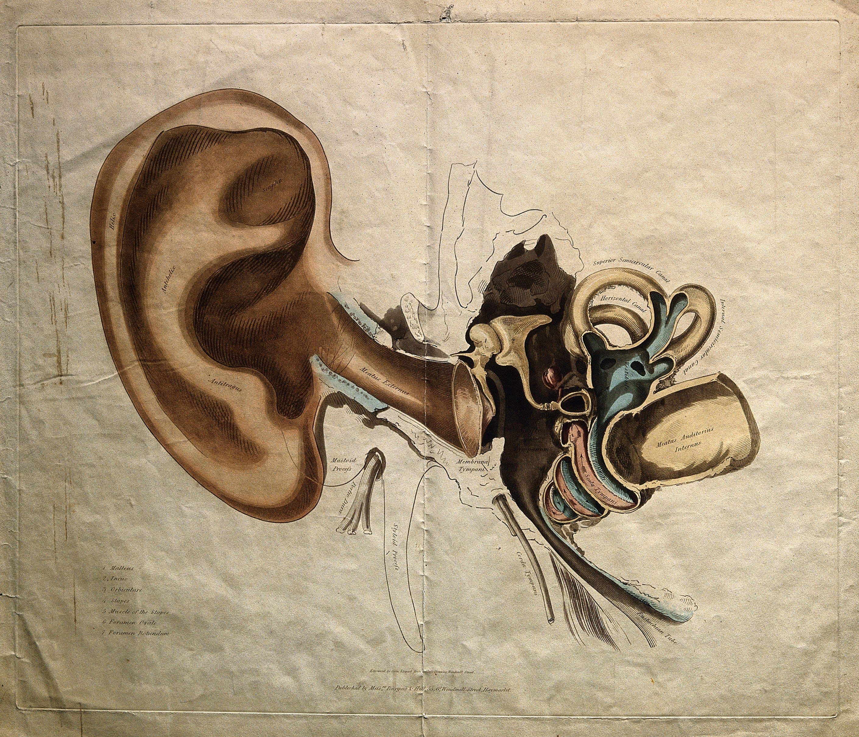 File:Structure of the outer and inner ear  Coloured stipple