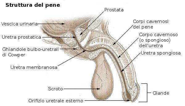 apri il pene)